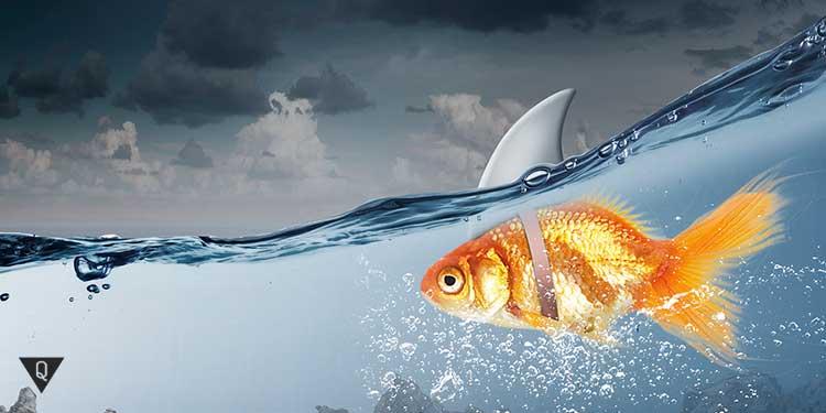 золотая рыбка с плавником акулы