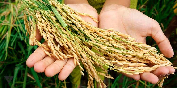на руках лежат колосья пшеницы