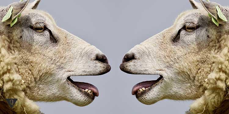 две овцы друг напротив друга