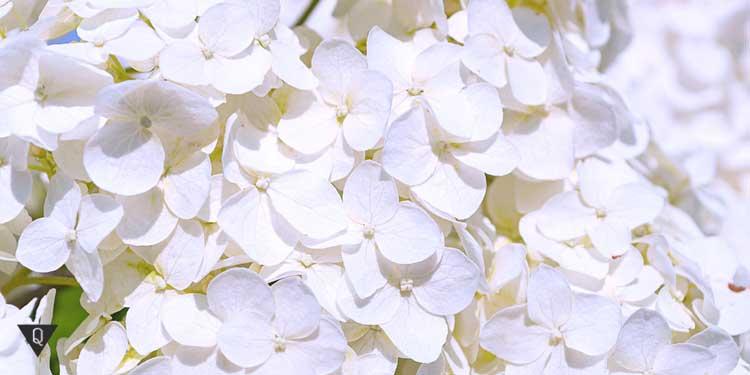белые лепестки цветов