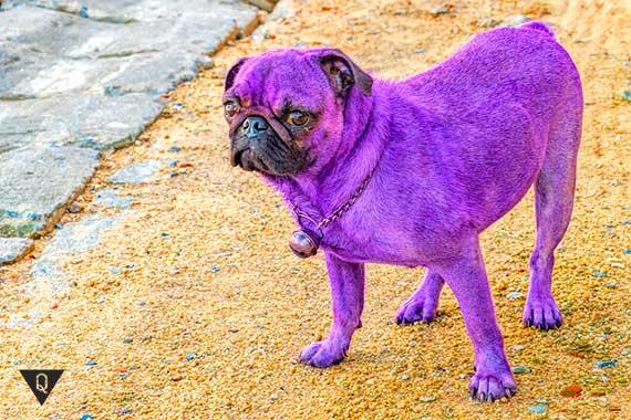 фиолетовая собака