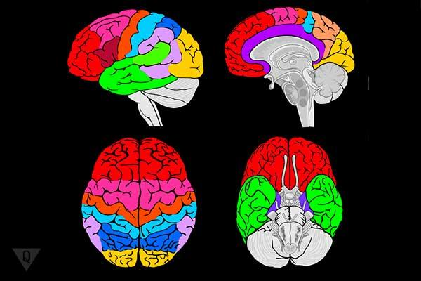 выделенные цветом разные зоны мозга