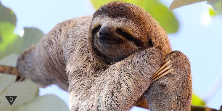 Ленивец на ветке