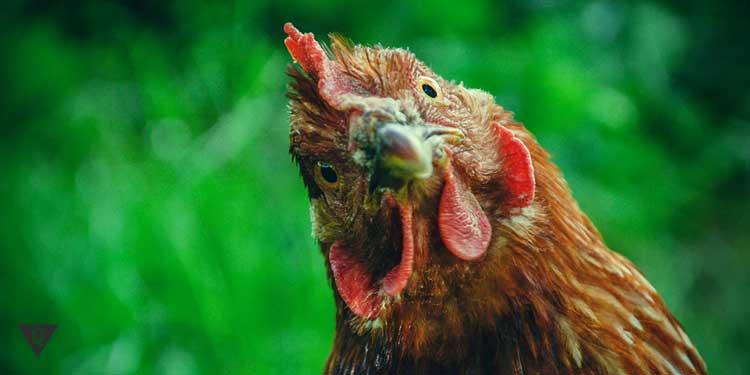 Курица внимательно смотрит