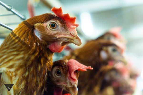 Несколько куриц на ферме