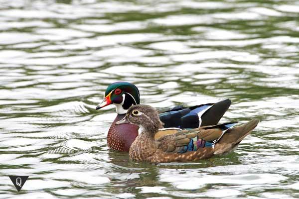 Пара уток плывет по озеру