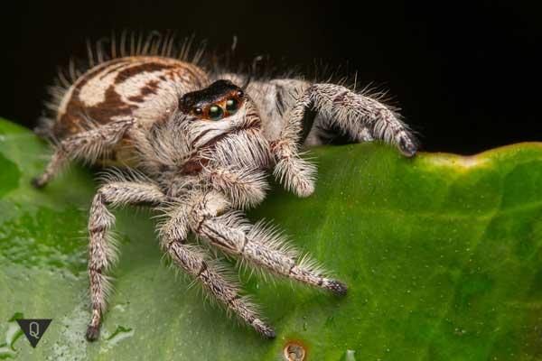 Серый паук на листе