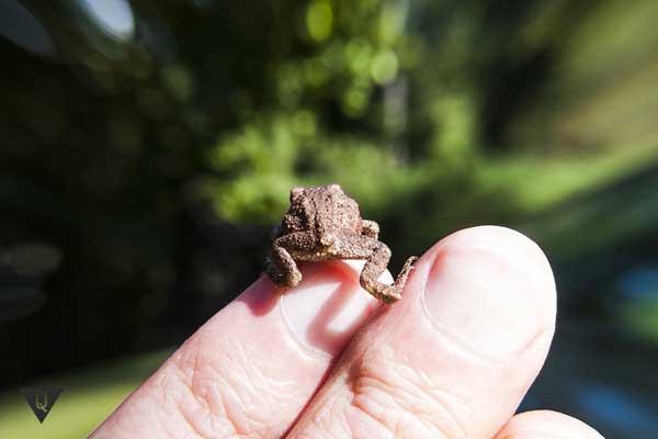 Лягушонок на пальце