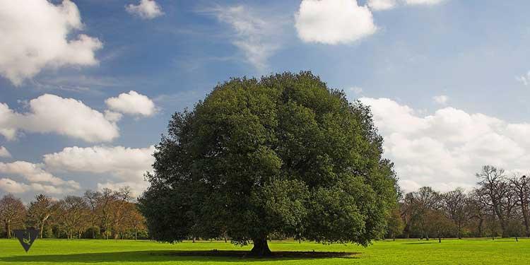 Огромное дерево на поляне